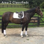 Affordable, 6 year old Hanoverian gelding