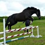 Cracking Potential Sport Horse X Cob 3yrs Dark Bay Share Twe