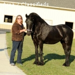 Top Quality Frisian mare , all rounder with great build