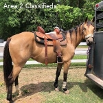 5 Year old Winwin QH Ranch Working Cow Horse