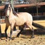 AQHA Quarter horse Mare-Dun