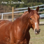 Beautiful Beginner Safe Gelding