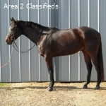16.3hh TBxCross for half lease!